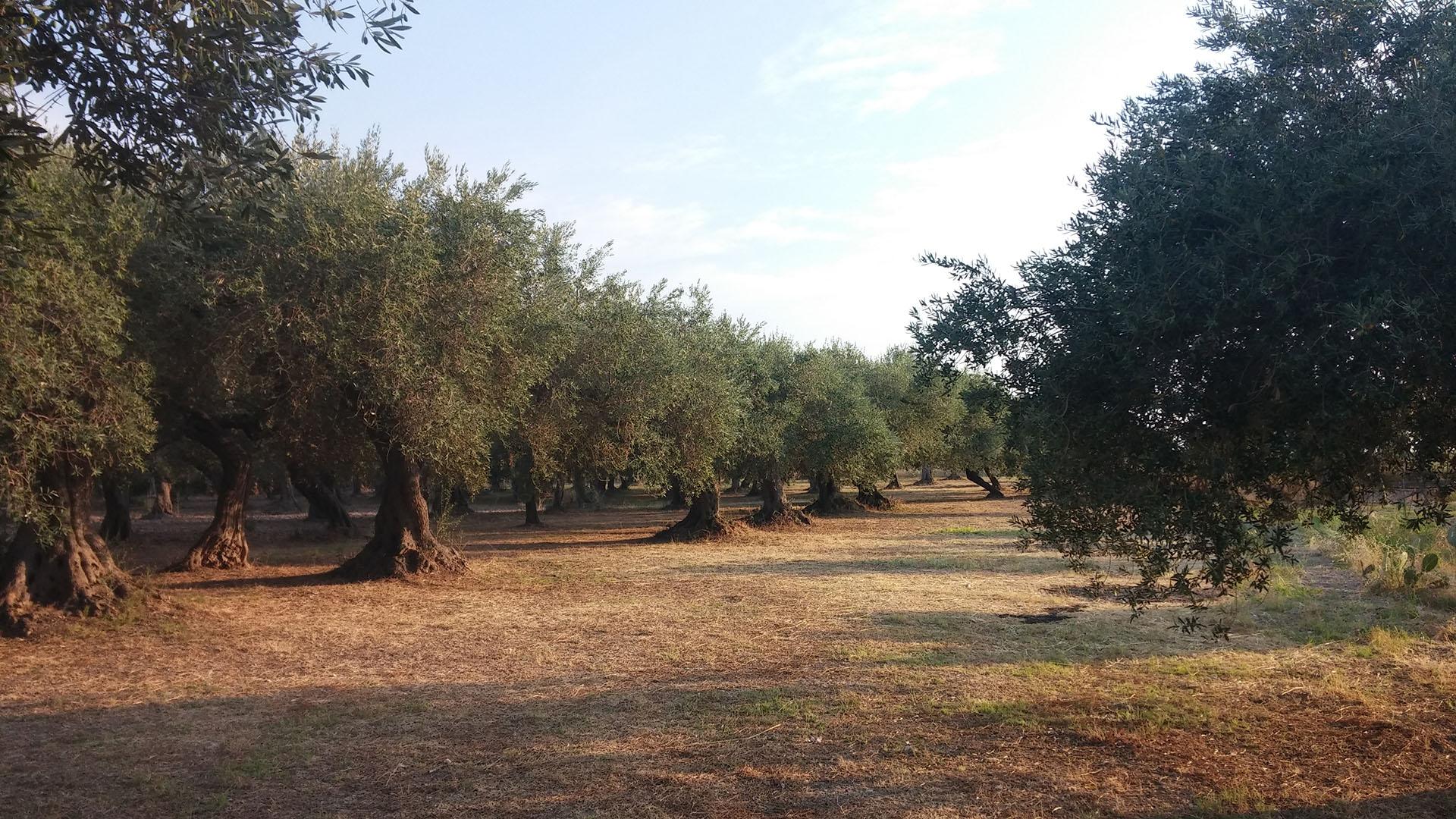 OLIVETI CAMPOMARINO (2)